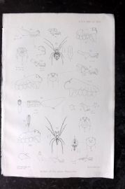 PZS 1880 Antique Insect Print Spiders of the Genus Argyrodes.